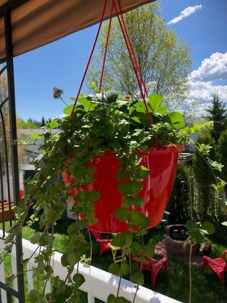 strawberry mint hanging basket
